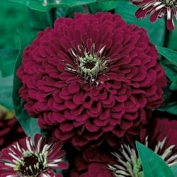 "Dahlia-flowered zinnia ""Violet  Queen"" - 120 seeds"