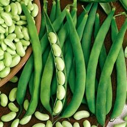 """Dwarf bean """"Presto"""" - green pods, flageolet-type - 120 seeds"""