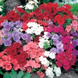 Iga-aastane phlox, Drummondi floks - madala kasvuga sordi segu - 500 seemnet - Phlox drummondi - seemned