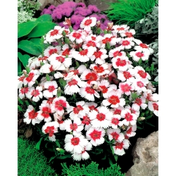Dianthus Merry-Go-Round semena - Dianthus chinensis - 330 semen
