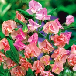 Sweet Pea Butterfly Mix seemned - Lathyrus odoratus - 36 seemnet