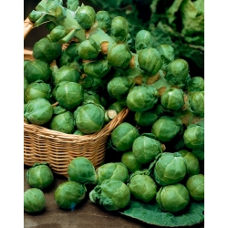 Brussels Sprouts Casiopea seeds - Brassica oleracea convar.oleracea var.gemmifera - 640 seeds