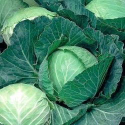 Early Cabbage seeds - Brassica oler. convar capitata var. alba - 480 seeds