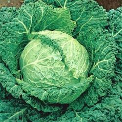 Cabbage Roma Polana F1 seeds - Brassica oleracea convar. capitata var. sabauda - 320 seeds