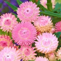 Roza zlato večno, Strawflower - 1250 semen - Xerochrysum bracteatum - semena
