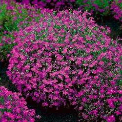 Carmine-red edging lobelia; garden lobelia, trailing lobelia - 3200 seeds