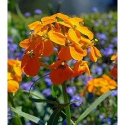 Siberian Wallflower seeds - Erysimum allionii
