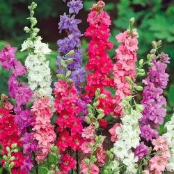 Rocket Larkspur mixed seeds - Delphinium ajacis hyacinthiflorum fl. pl. - 500 seeds