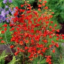 Red Larkspur, Orange Larkspur seeds - Delphinium nudicaule - 80 seeds