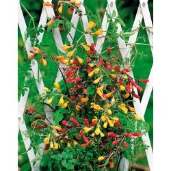 بذور تشيلي غلوري زهرة مختلطة - Eccremocarpus scaber - 200 بذرة - ابذرة