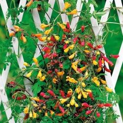 Hạt hỗn hợp hoa Glory Chile - Eccremocarpus scaber - 200 hạt