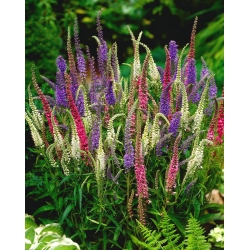 Spiked Speedwell Sightseeing Mix seeds - Veronica spicata - 1000 seeds