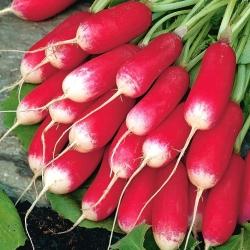 """БИО - Радисх """"Френцх Бреакфаст 3"""" - сертификовано органско семе - 425 семена - Raphanus sativus L."""