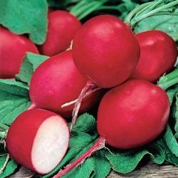 """Radish """"Riesen von Aspern"""" - round, red roots - 425 seeds"""