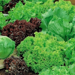 Mixed Lettuce Seed Tape - Lactuca sativa