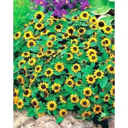 Creeping Zinnia seeds - Sanvitalia procumbens - 570 seeds