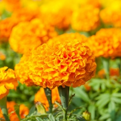 Marigold Deep Orange seeds - Tagetes erecta - 300 seeds