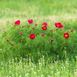 Bažantí oko semena - Adonis aestivalis - 110 semen