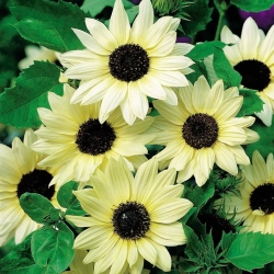 Sunflower Vanilla Ice seeds - Helianthus debilis