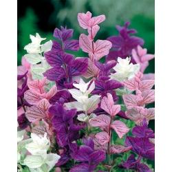 Однолетний шалфей, Орвал - цветовая смесь - 200 семян - Salvia horminu, S. viridis var. Tricolor - семена