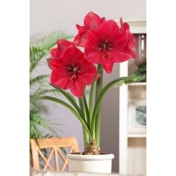 Hippeastrum - Amaryllis - hoa hồng - củ giống GIANT