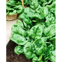 """BIO - rau bina """"Winterreuzen"""" - hạt hữu cơ được chứng nhận - 800 hạt - Spinacia oleracea L."""