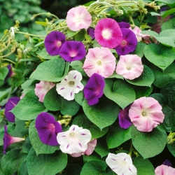 Morning Glory 'Two-Tone mix' seeds - Ipomoea tricolor - 56 seeds