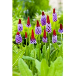Primrose Chinese Pagoda seeds - Primula vialii - 140 seeds