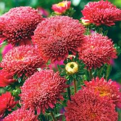 "Красная ""Принцесса"" китайская астра - 500 семян - Callistephus chinensis - семена"