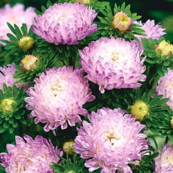 White-pink peony aster - 500 seeds