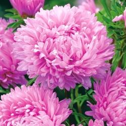 Kerti őszirózsa - rózsaszín - 500 magok - Callistephus chinensis