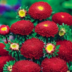 Red pompom-flowered aster - 500 seeds