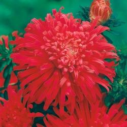 "Red chrysanthemum-flowered aster ""Flame"" - 500 seeds"