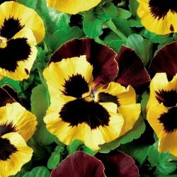 Hercai Menekşe Matrix Sarı Blotch tohumları-Viola x wittrockiana-400 tohumları - Viola x wittrockiana