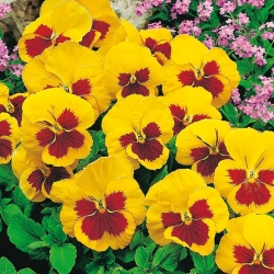 Árvácska fajták - Yellow Red Eye - sárga - piros - 320 magok - Viola x wittrockiana