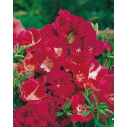 Chia tay mùa xuân, Godetia, Clarkia amoena - 1500 hạt giống - Godetia grandiflora
