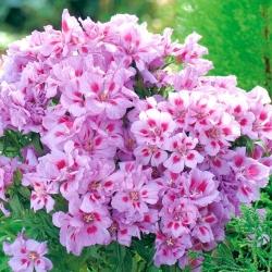 Godetia Cattleya tohumları - Godetia grandiflora - 1500 tohumları - Godetia grandifllora