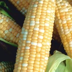 Sweet Corn Ramondia F1 seeds - Zea mays - 70 seeds