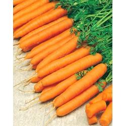 """هویج """"Amsterdamska"""" - انواع زودرس - SEED TAPE - Daucus carota ssp. sativus  - دانه"""