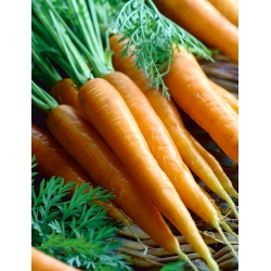 """Carrot """"First harvest"""" - TREATED SEEDS"""