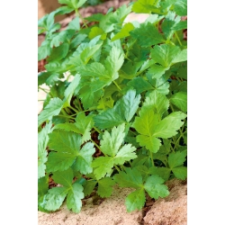 Mitsuba, Japanese Parsley seeds - Cryptotaenia japonica