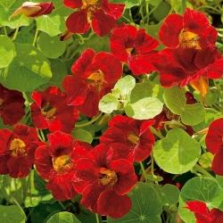 "Garden nasturtium ""Mahogany Jewel"", Indian cress, monk's cress - low growing variety - 40 seeds"