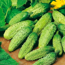 "Cucumber ""Wisconsin SMR 58"", pickling variety - TREATED SEEDS - 250 seeds"