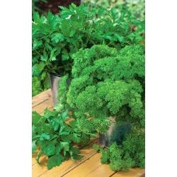 ترکیبی از انواع جعفری برگ - SEED TAPE - Petroselinum crispum  - دانه