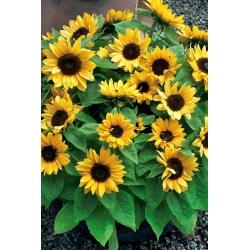 """Koduaed - dekoratiivne päevalill """"Baver"""" - sise- ja rõdu kasvatamiseks - Helianthus annus - seemned"""