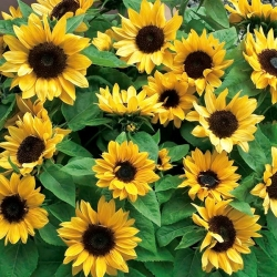 """Home Garden - ornamental sunflower """"Baver"""" - for indoor and balcony cultivation"""