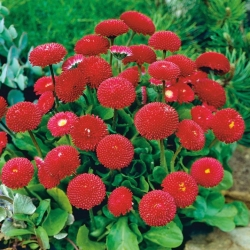 Red English Daisy seeds - Bellis perennis - 690 seeds