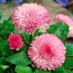 "Pink large flowered daisy ""Maria"" - 600 seeds"