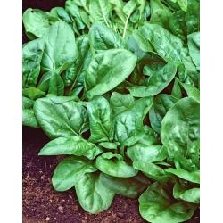 """Spinat """"Matador"""" - töödeldud seened - 1800 seemnet -  - seemned"""