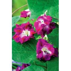 Ипомея пурпурная - Reffles - 80 семена - Ipomoea purpurea